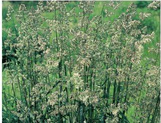花粉カモガヤ